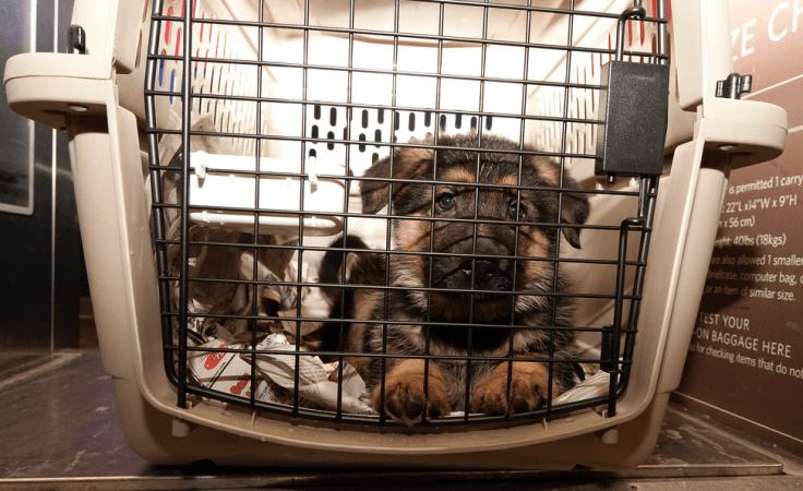 Hướng dẫn những cách vận chuyển thú cưng sao cho an toàn