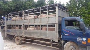 Vận chuyển hàng gia súc ra khỏi cấp huyện