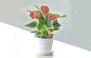 Hoa tiểu môn cũng là một trong các loài hoa phổ biến ở Việt Nam