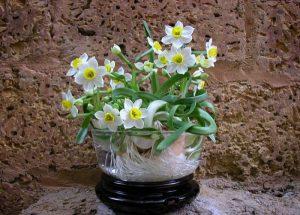 Hoa thủy tiên còn được biết đến là loài hoa tượng trưng cho sự khởi nguồn