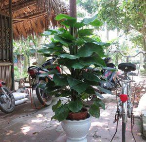 Trồng cây Vạn Niên Thanh trước cửa nhà theo phong thủy